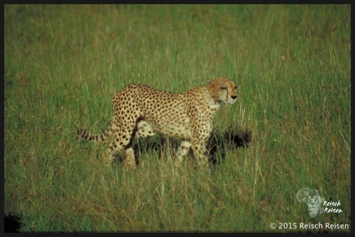 Tansania - Safari-Gepard_hp