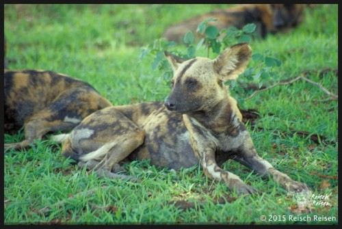 Tansania - Safari-afrik. Wildhund im Selous_hp